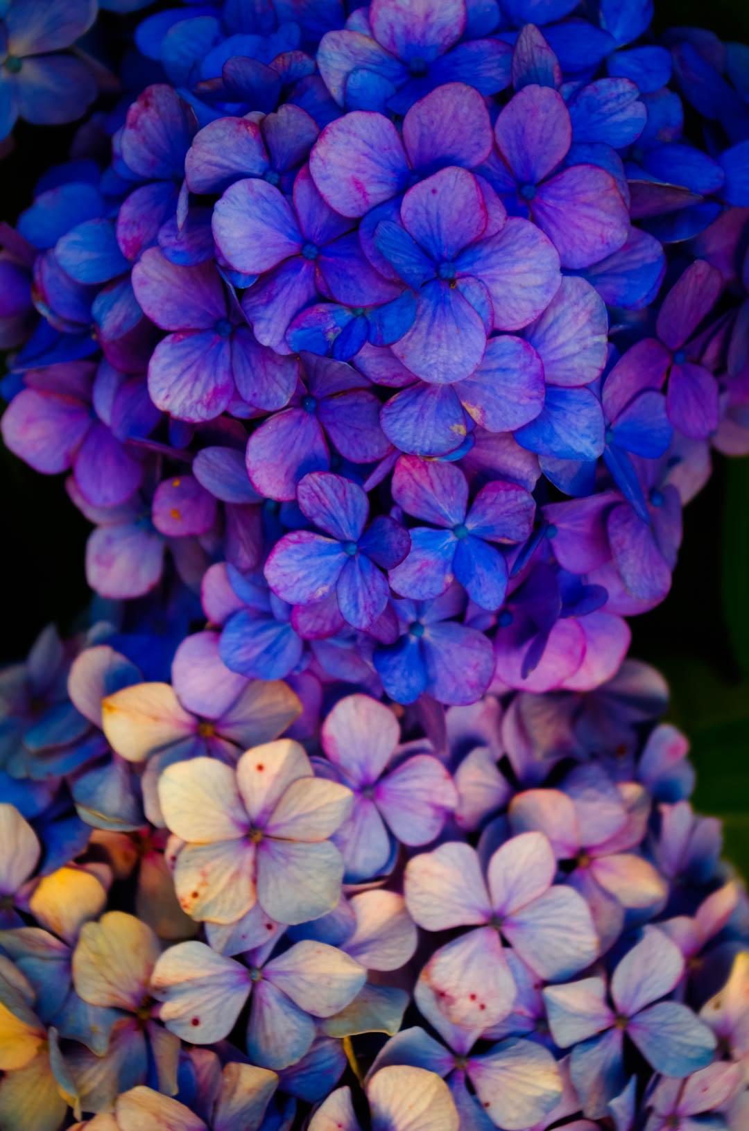 紫陽花(あじさい)は白黒(モノクロ)で現像(あそび)したい