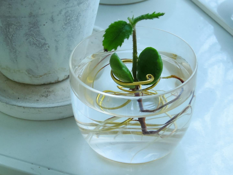 びわの種と『水耕栽培』