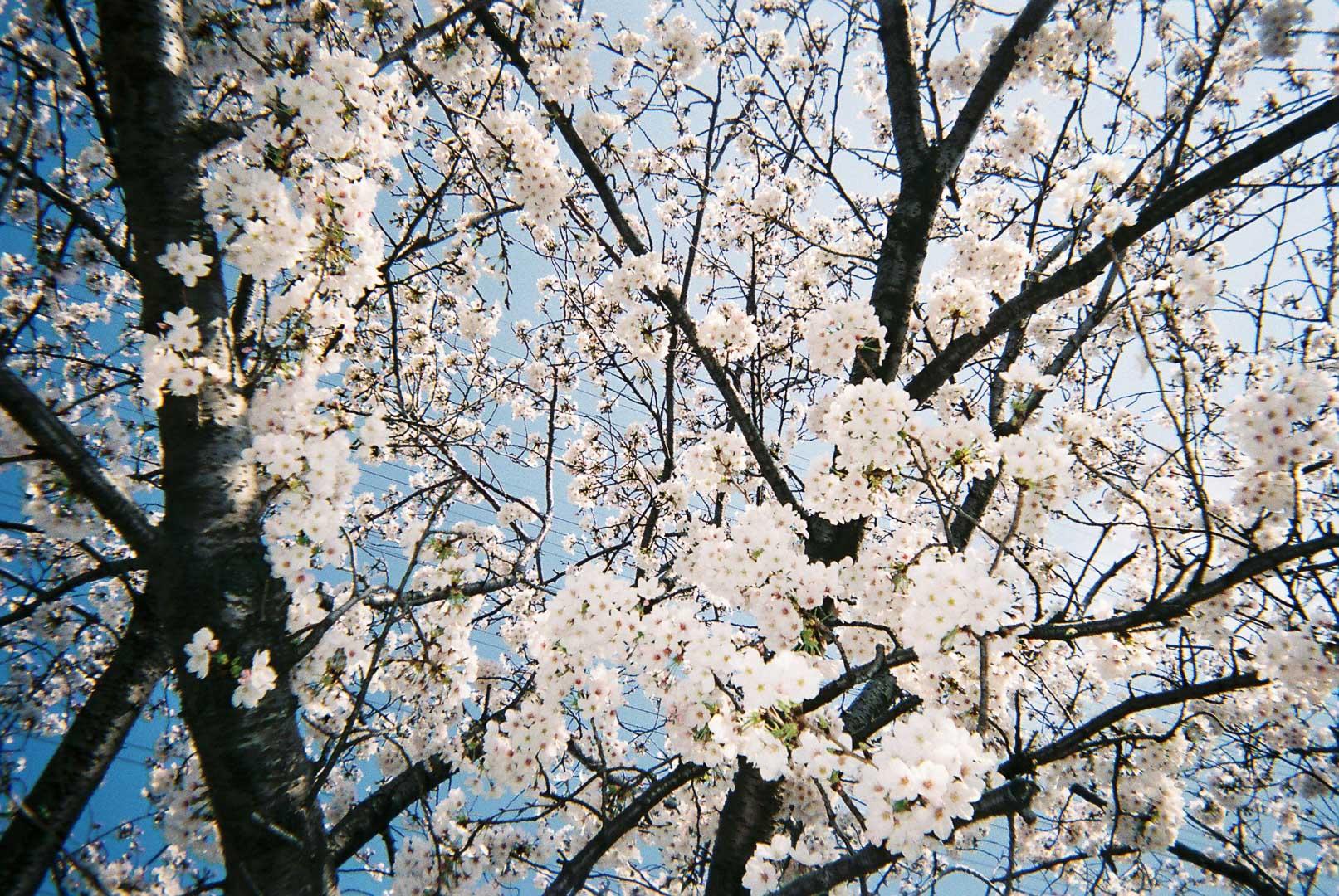 渋田川で桜を撮りました( 写ルンです