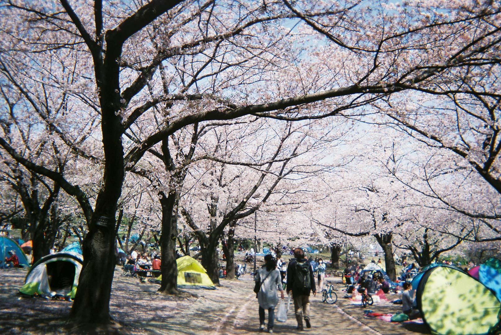 平塚市総合公園で桜を( 写ルンです