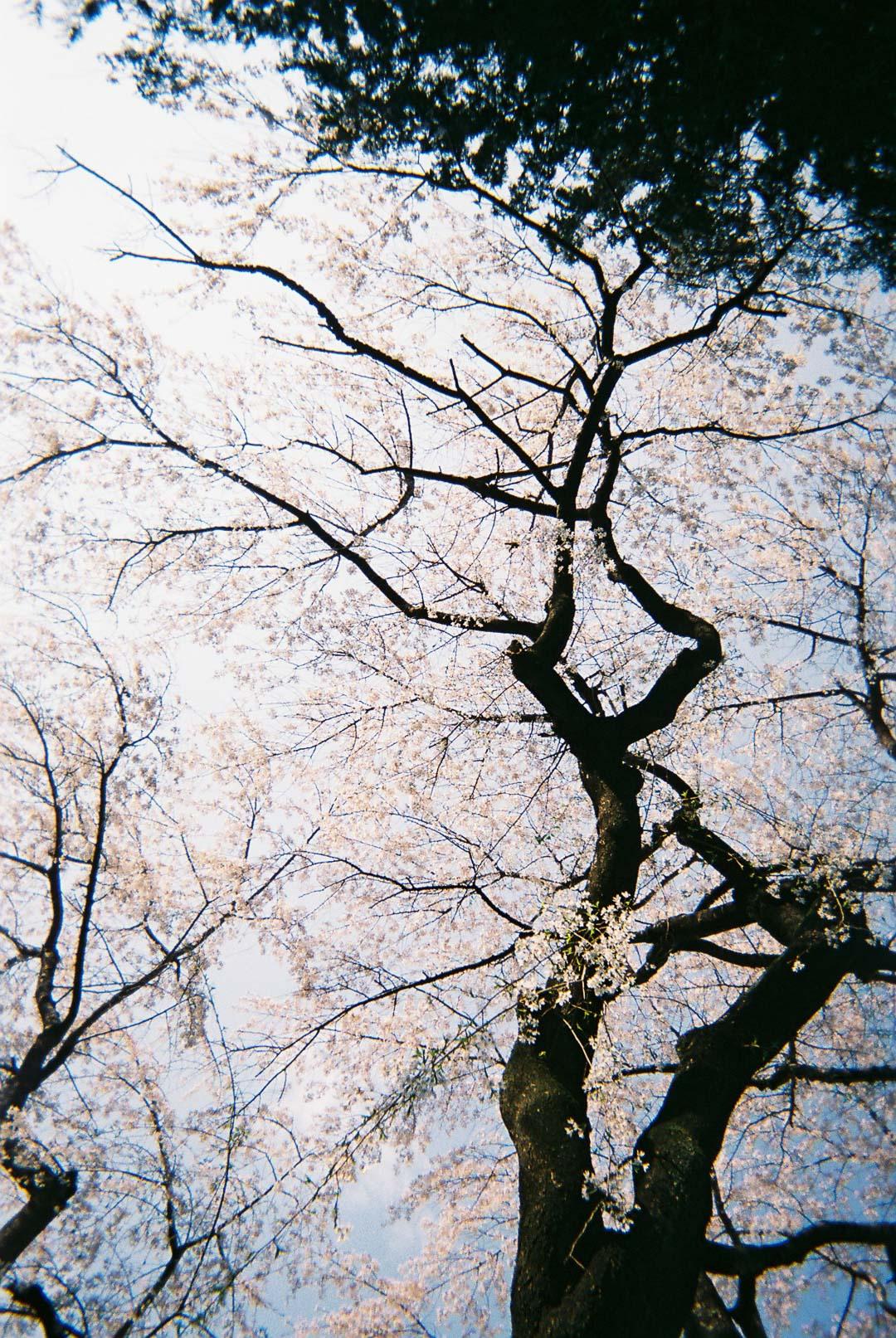 桜の写真を撮りました( 写ルンです