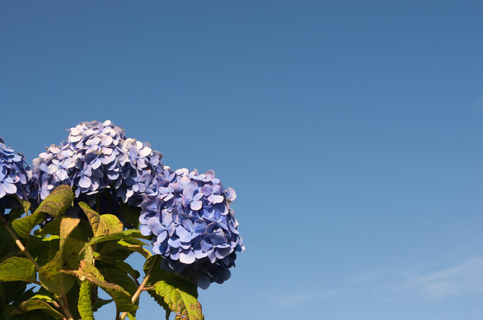 紫陽花(あじさい)を撮りました