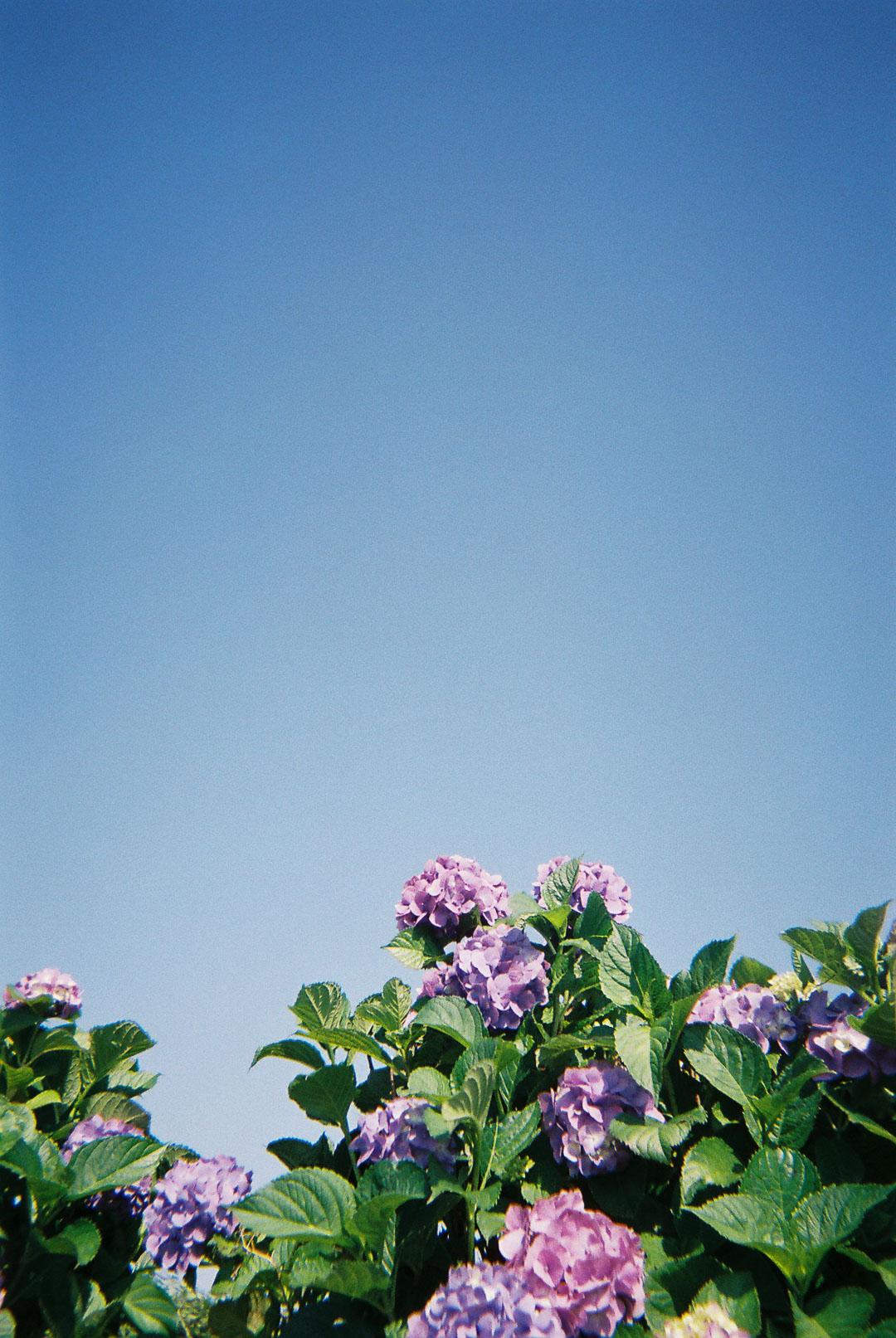 紫陽花を撮りました( 写ルンです