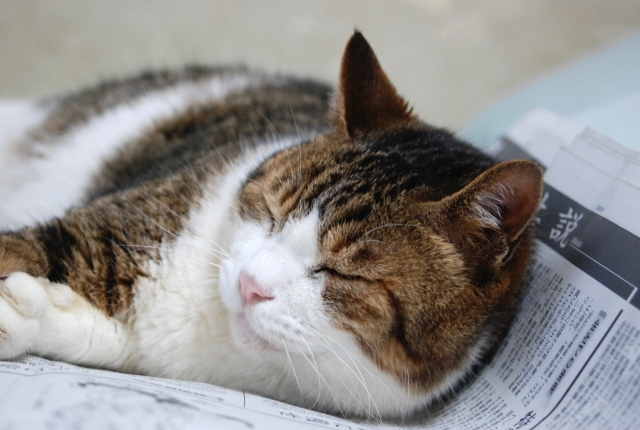 新聞の上で眠る猫