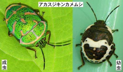 人面昆虫02アカスジキンカメムシ
