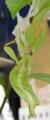 [コノハムシ][羽化]