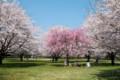 桜の下で真昼を過ごす