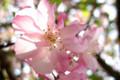海棠の花 妙本寺