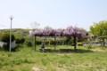 藤の咲く公園 12時43分