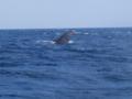 [みさきダイビング][青の洞窟][ダイビング][シュノーケル][沖縄][海][ボート][恩納村][真栄田岬][クジラ]ザトウクジラ@恩納村青の洞窟