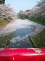 [青森県][桜][弘前城]弘前城の桜(2010年)