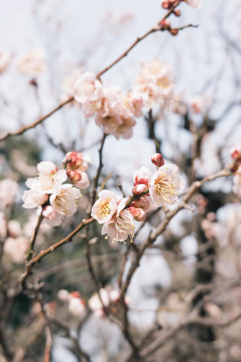写真:梅の花