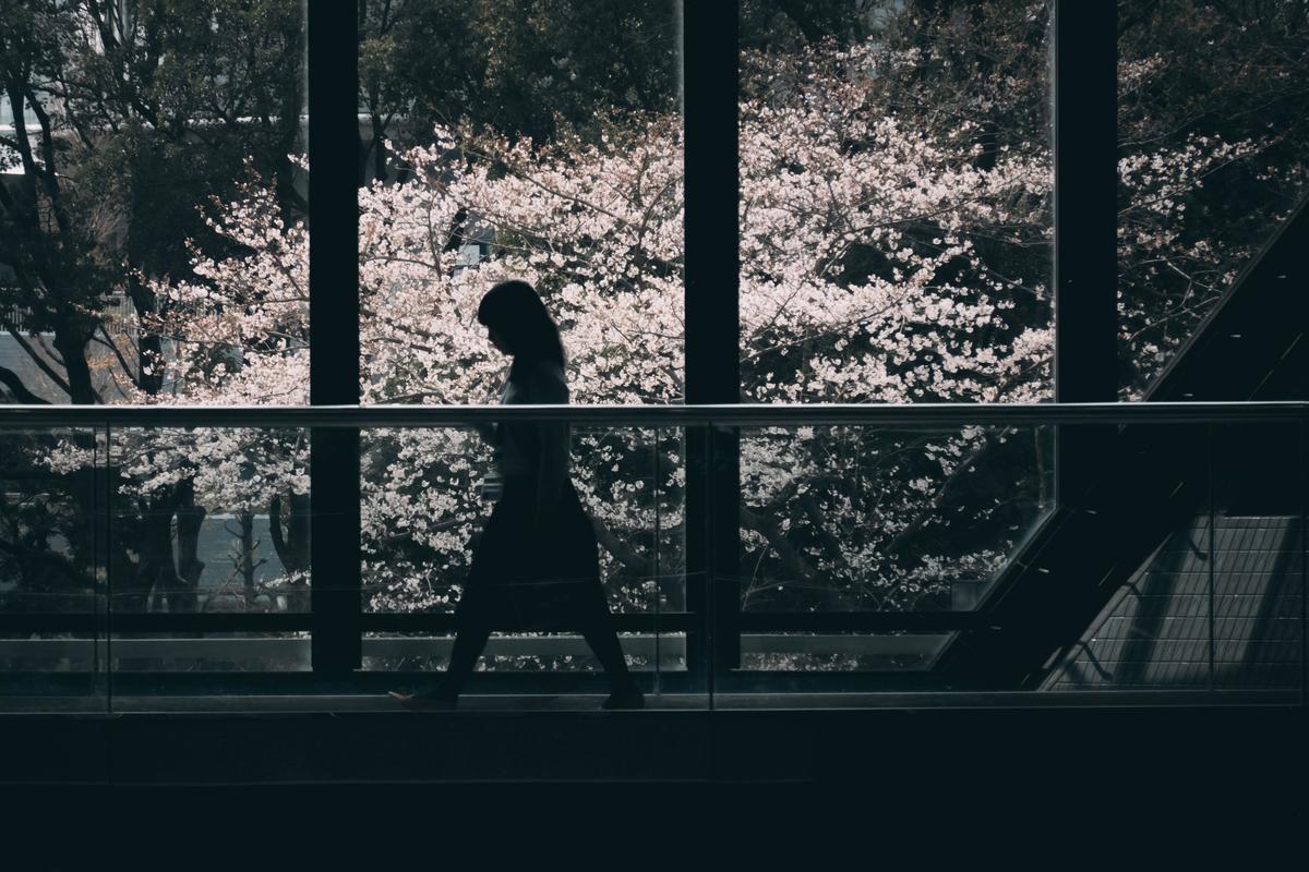 写真:ガラスの向こうに咲く桜