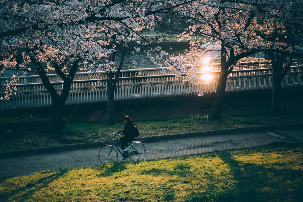 写真:桜ノ宮公園の桜
