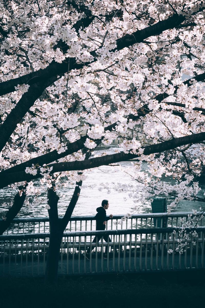 写真:桜の木とランニングしている人
