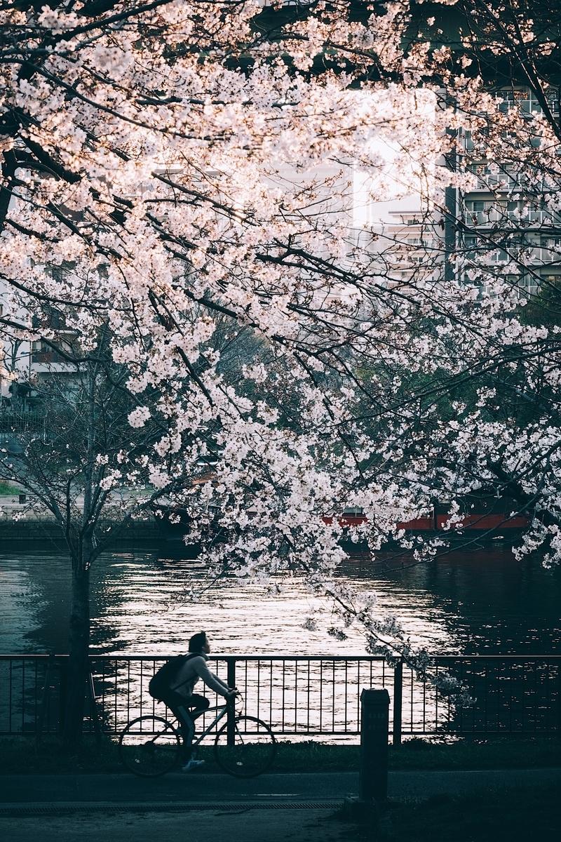 写真:桜と自転車