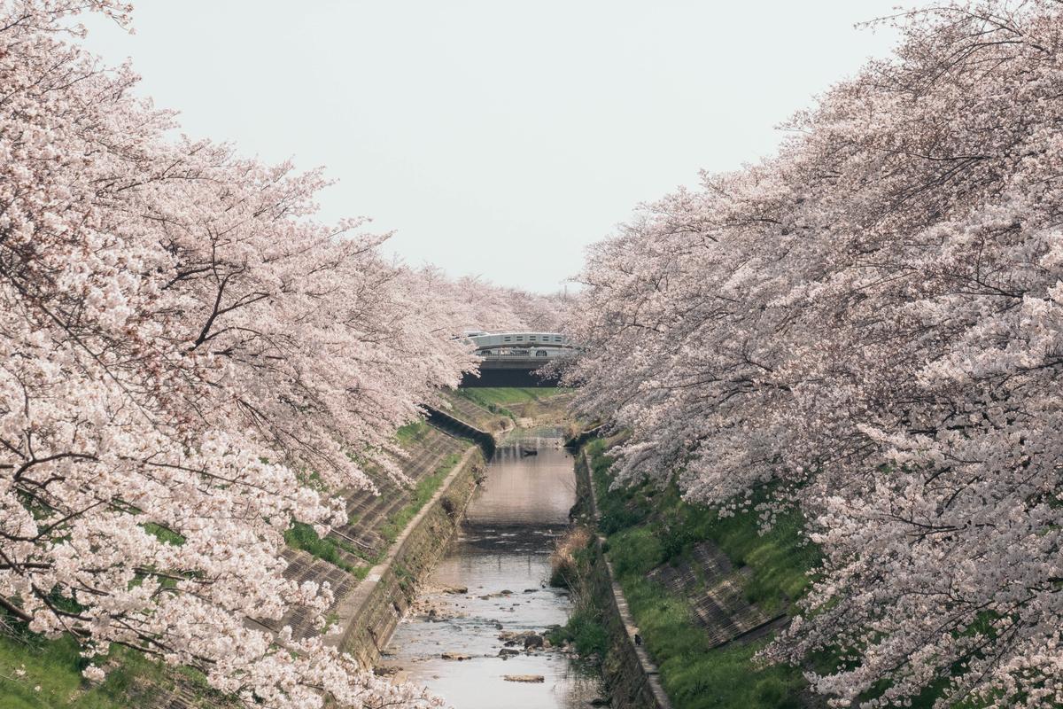 写真:奈良・佐保川の桜の写真