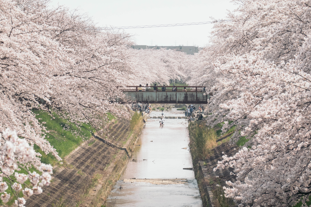 写真:奈良・佐保川の桜