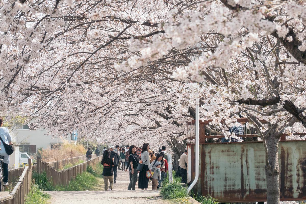 写真:奈良・佐保川の桜のトンネル