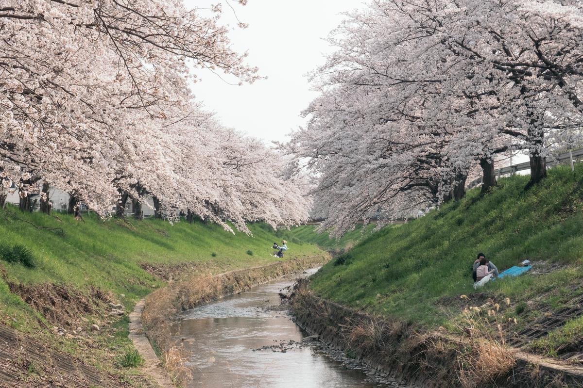 写真:奈良・佐保川の川辺で花見