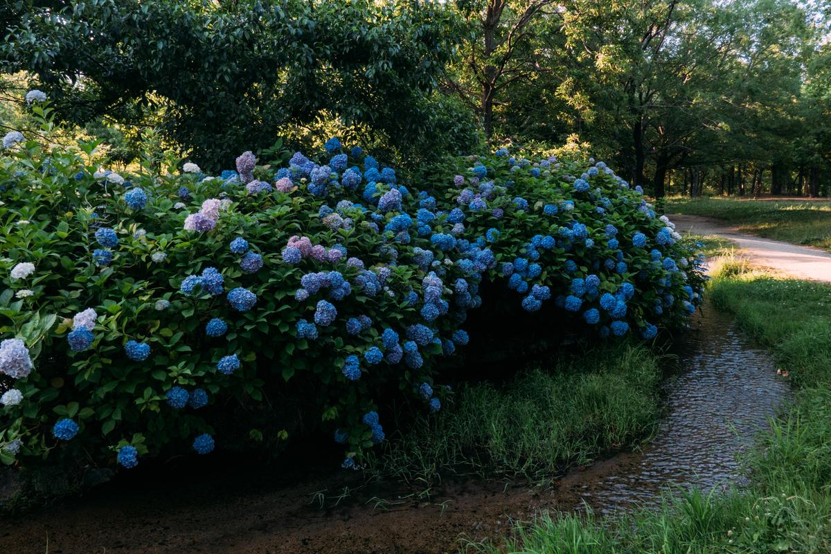 写真:鶴見緑地公園の紫陽花