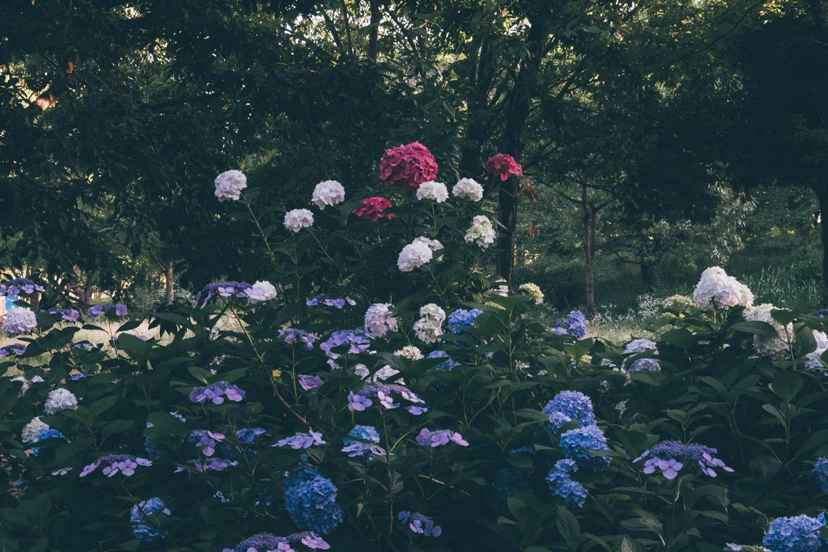 写真:赤紫の紫陽花