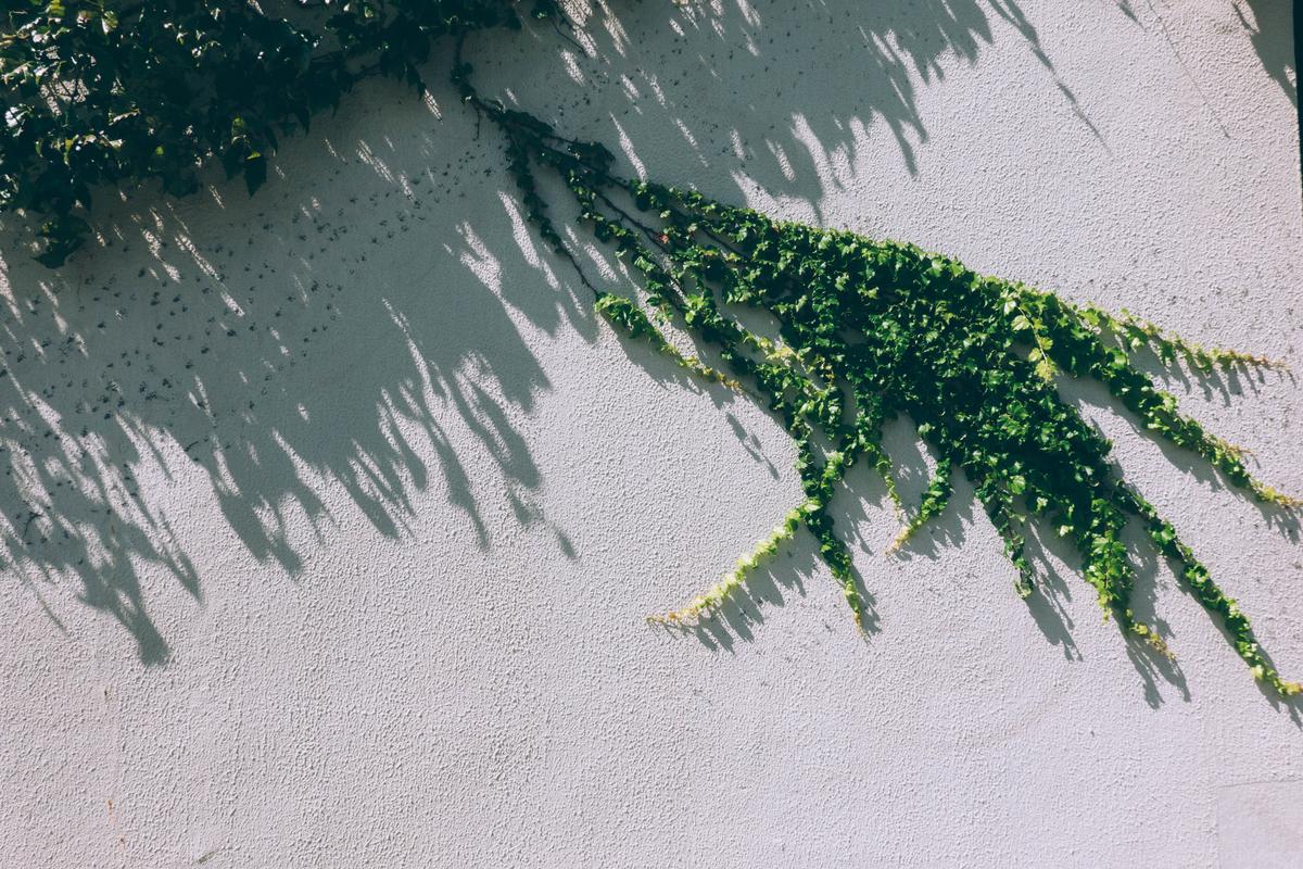 写真・壁の蔦