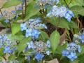 [花]070627 アジサイ・藍姫