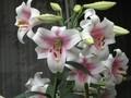 [花]070626 ユリ・トライアンフェータ