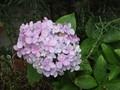 [花]070630 アジサイ