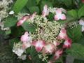 [花]070629 アジサイ・紅