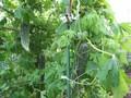 [野菜]070805 ニガウリ