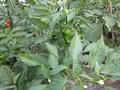 [野菜]070805 シシトウガラシ