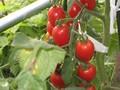 [野菜]070805 ミニトマト