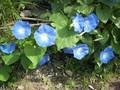 [花]071012 アサガオ・ヘブンリーブルー