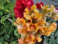 [花]070928 ケイトウ