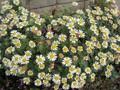[花]071128 アシズリノジギク