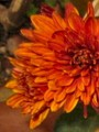 [花]071127 キク