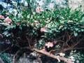 [花]071119 サザンカ