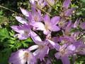 [花]071013 コルチカム