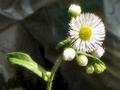 [花]080428 ハルジオン