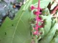 [植物]081010 ヨウシュヤマゴボウ