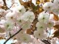 [花]140417 フゲンゾウ