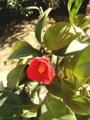 [花]170310 ツバキ