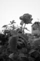 [モノクロ][花]