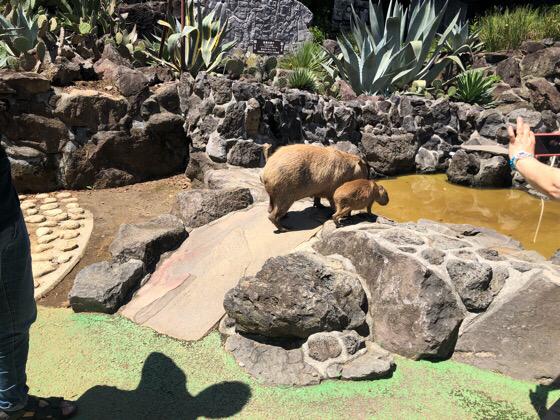 温泉に入るシャボテン動物公園のカピバラ