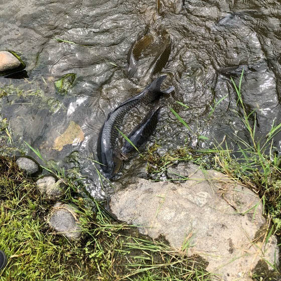 えさし藤原の郷の伽羅御所の池のエサを食べる鯉