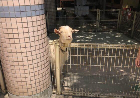 神奈川県相模原市にある麻溝公園のふれあい動物広場にいるヤギ