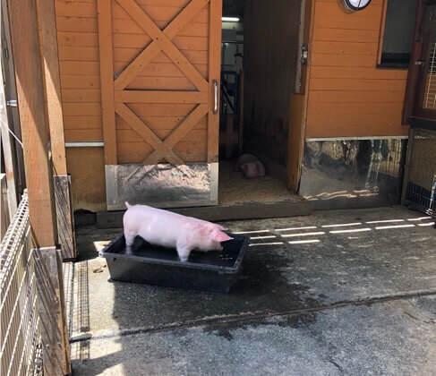 神奈川県相模原市にある麻溝公園のふれあい動物広場にいる豚