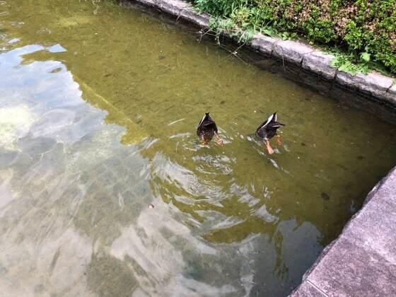 神奈川県相模原市にある相模原公園のフランス式庭園の噴水にいるカモ